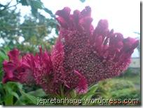 bunga jengger ayam 2832