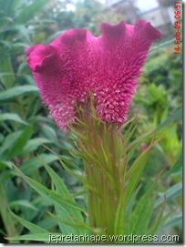 bunga jengger ayam 2833