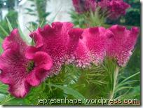 bunga jengger ayam 2835