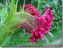bunga jengger ayam 2838