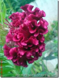bunga jengger ayam 2839