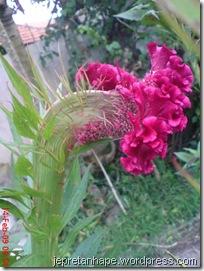 bunga jengger ayam 2840