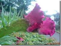 bunga jengger ayam 2841