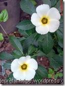 bunga pukul delapan 06