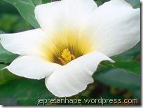 bunga pukul delapan 415