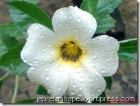 bunga pukul delapan 711