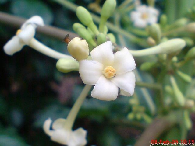 Bungapepaya