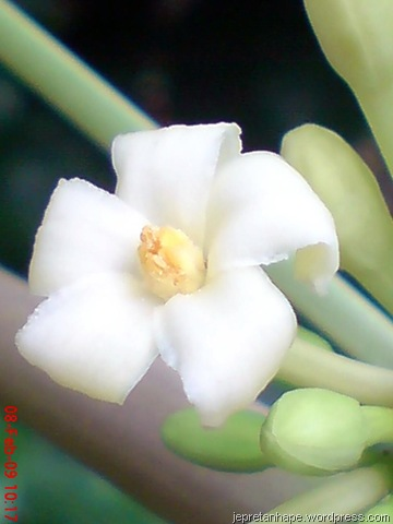 Unduh 8100 Koleksi Gambar Bunga Pepaya Beserta Bagian Bagiannya Paling Cantik HD
