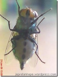 lalat 1696