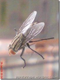 lalat 1930