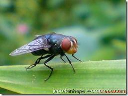 lalat hijau di daun pandan