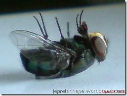 lalat mati 1482