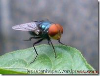 mata merah lalat hijau 03