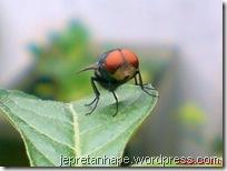 mata merah lalat hijau 04