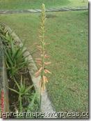 Aloe vera 3212