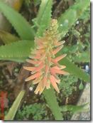 Aloe vera 3216