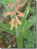 Aloe vera 3224