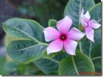 bunga tapak dara 4057
