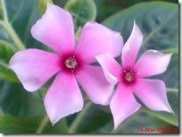 bunga tapak dara 4082