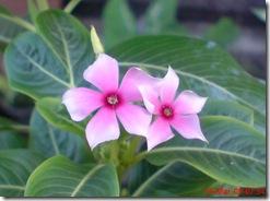 bunga tapak dara 4094