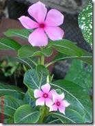 bunga tapak dara 4096