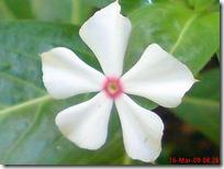 bunga tapak dara mini 4098