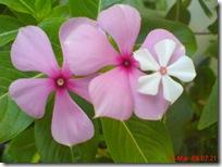bunga tapak dara mini 4104