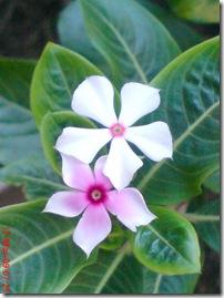 bunga tapak dara mini 4109