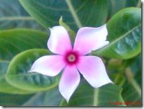 bunga tapak dara mini 4113
