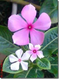 bunga tapak dara mini 4121