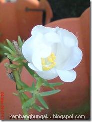 Portulaca grandiflora Hook 3734