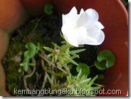 Portulaca grandiflora Hook 3742