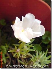 Portulaca grandiflora Hook 3743