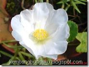 Portulaca grandiflora Hook 3779