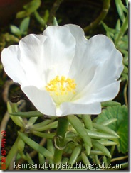 Portulaca grandiflora Hook 3782