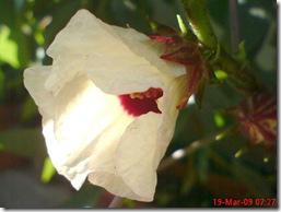 rosela merah 4158