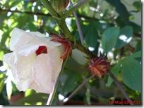 rosela merah 4180
