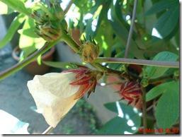rosela merah 4184