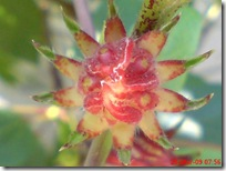 rosela merah 4210
