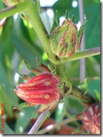 rosela merah 4213