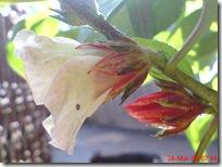 rosela merah 4500