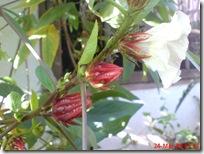 rosela merah 4507