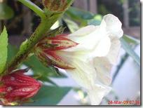 rosela merah 4509