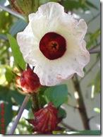 rosela merah 4513
