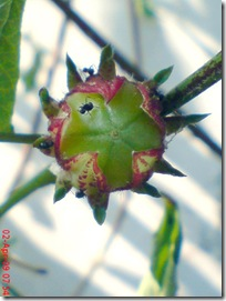 rosela merah 4589