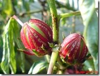 rosela merah 4598