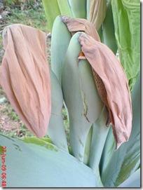 bunga keladi 10