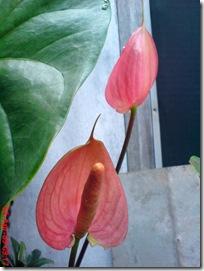 bunga merah bunga keladi 03