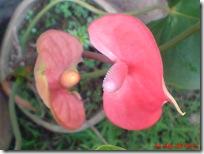 bunga merah bunga keladi 04