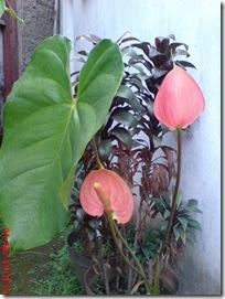 bunga merah bunga keladi
